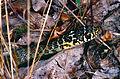Western Whip Snake (Hierophis viridiflavus) juvenile (Found by Jean NICOLAS) (14102137902).jpg