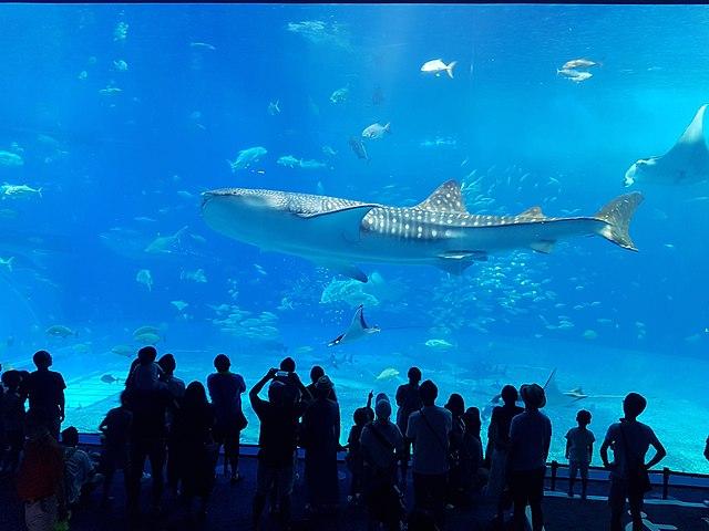 File:Whale shark at Churauma Aquarium, Okinawa.jpg ...