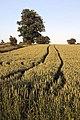 Wheat field in Little Saxham - geograph.org.uk - 865367.jpg