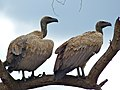 White-backed Vultures (Gyps africanus) (11756449954).jpg