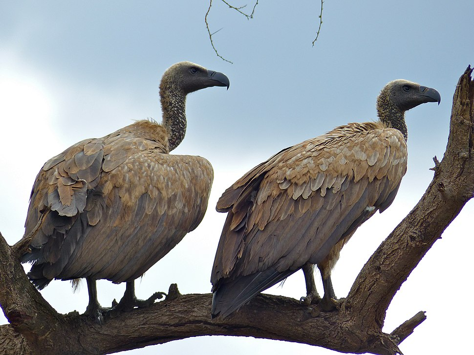 White-backed Vultures (Gyps africanus) (11756449954)