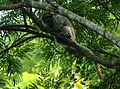White-eared titi (Callicebus donacophilus).jpg