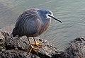 White-faced heron (Egretta novaehollandiae) (35618543614).jpg