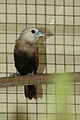 White-headed Munia.jpg