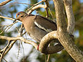 White-winged Dove (16558223841).jpg