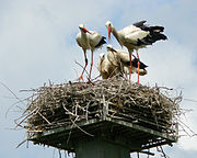 Family of White stork, a national bird in Poland