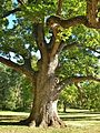 White Oak Tree, Elizabeth Park, West Hartford, CT - September 25, 2013.jpg