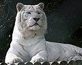 White Tiger 1 (5017761317).jpg