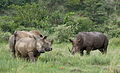 White rhinoceros or square-lipped rhinoceros, Ceratotherium simum. Note that in some of these photos there are a female with a calf, and a male that seems to have been challenging the calf. (17337920322).jpg