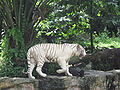 White tigers, Singapore Zoo 6.JPG