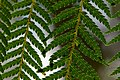 Wielangta Dicksonia antarctica leaves 1.jpg