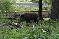 Wien-Hietzing - Naturschutzgebiet 1 - Lainzer Tiergarten - Wildschwein gleich neben der Autobahn.jpg