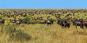 Maasai Mara - Large numbers of migrating wildebeest