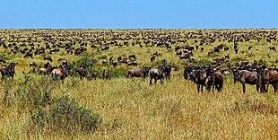 هجرة حيوانات النو العظيمة من كينيا إلى
