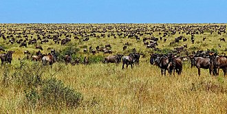 Overgrazing - Huge herd of migratory Wildebeest in Masai Mara during the Great Migration