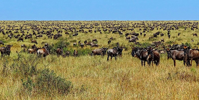 File:Wildebeest-during-Great-Migration.JPG