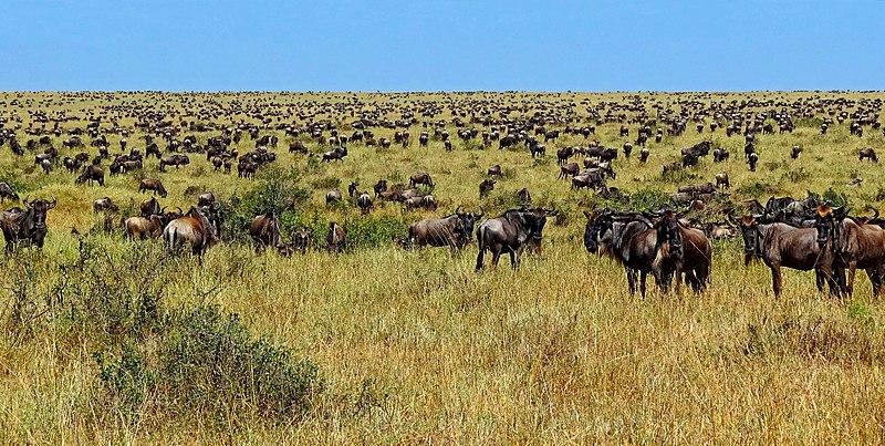 Wildebeest-during-Great-Migration.JPG