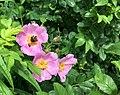 Wildflower and bumblebee, Fresh Pond, Cambridge, Massachusetts, USA.jpg