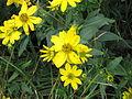 Wildflowers Elk Knob NC SP 0979 (3773385223).jpg