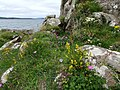 Wildflowers at Portencross - geograph.org.uk - 497764.jpg