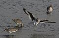 Willet, Tringa semipalmata, Moss Landing and Monterey area, California, USA. (30919424845).jpg