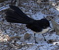 Willie Wagtail Ground.JPG