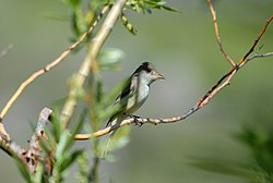 Willow Flycatcher.jpg