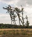 Windgestriemde vliegdennen (Pinus sylvestris). Locatie, Schaopedobbe (Schapenpoel) 02.jpg