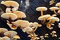 Winter fungus, Crawfordsburn Glen - geograph.org.uk - 655250.jpg