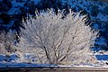 Winter tree covered by snow.jpg
