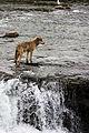 Wolf by Brooks Falls.jpg