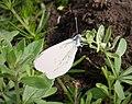 Wood White. Leptidea sinapis (44908615324).jpg