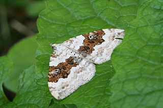 Silver-ground carpet Species of moth