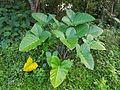 Xanthosoma sagittifolium in Bukidnon, Philippines 01.jpg