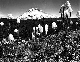 Xerophyllum tenax 499446.jpg