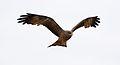 Yellow-billed kite, Milvus aegyptius, at Elephant Sands Lodge, Botswana (32099567822).jpg