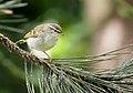 Yellow-browed warbler (Phylloscopus inornatus), Parc du Slot, Woluwé-St.-Lambert, Brussels (34111120896).jpg