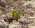 Yellow-fronted Canary Crithagra mozambica, male, feral, Mauritius 2.jpg