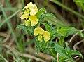 Yellow Commelina (Commelina africana) (13583979203).jpg