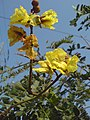 Yellow Flame tree (332503509).jpg