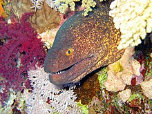 Yellow Margined Moray Eel.jpg