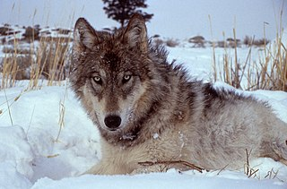 History of wolves in Yellowstone