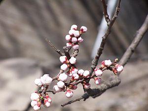 Yiheyuan spring blossom