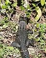 Young Alligator (6743063109).jpg