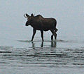 Young bull moose in Cook Inlet, Anchorage.jpg