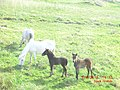 Young horses on Eriskay - panoramio.jpg