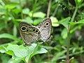 Ypthima huebneri – Common Four-ring mating 03.jpg