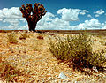 Yucca brevifolia at the Nevada Test Site 1.jpg