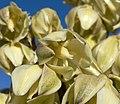 Yucca schidigera 21.jpg