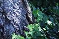 ZIMG 2671-Notholithocarpus densiflorus.jpg